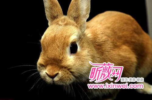 世界上最小的宠物 1kg荷兰侏儒兔超萌(组图)-青岛