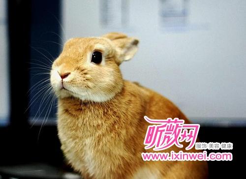 世界上最小的宠物 1kg荷兰侏儒兔超萌(组图)