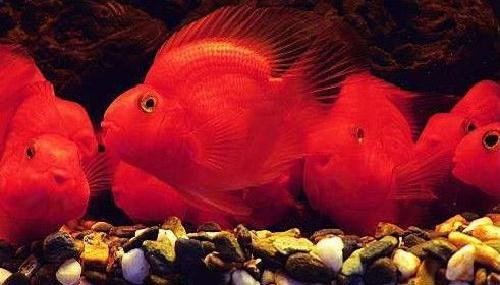 据介绍,血鹦鹉相较于其他高档热带鱼,饲养技术门槛并不高.